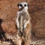 Meerkat Experience East Sussex