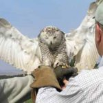 Falconry in Northumberland