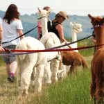 Alpaca Trekking in Kent