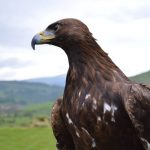 Falconry in Powys